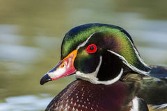 Wood duck drake portrait Royalty Free Stock Photography