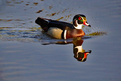Wood Duck Drake Reflecting royaltyfri foto