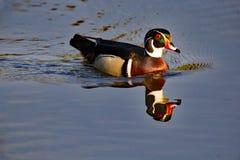 Wood Duck Drake Reflecting Royaltyfri Foto