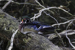 Wood Duck drake. Wood Duck resting on a fallen tree along side a river Royalty Free Stock Image