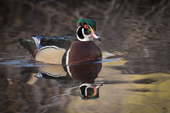 Wood Duck Drake. Wood duck swimming in the pond Royalty Free Stock Images