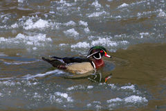 Wood Duck. Drake swimming in a river Royalty Free Stock Photography