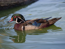 Wood duck drake Vertical Stock Photo