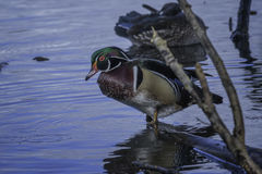 Wood Duck. Drake Wood Duck in water Royalty Free Stock Image