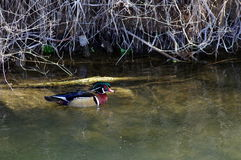 Wood duck drake Stock Photography