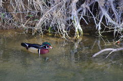 Wood duck drake Royalty Free Stock Photo