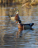 Wood Duck Drakes Stock Photography