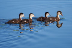 Wood Duck ducklings Stock Photography