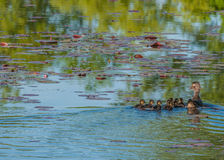 Wood Duck Ducklings Stock Photo
