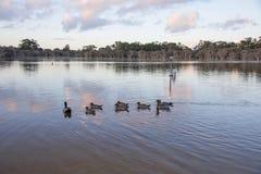 Wood Duck Evening Swim arkivbilder