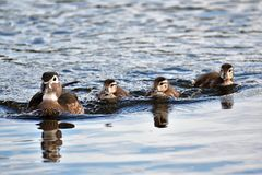 Wood duck  Family royalty free stock photos