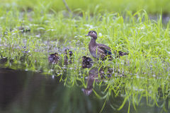 Wood duck family Stock Photography