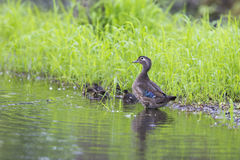 Wood duck family Stock Image