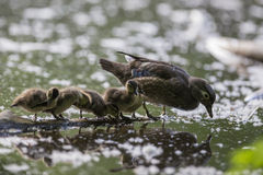 Wood duck family Stock Photo