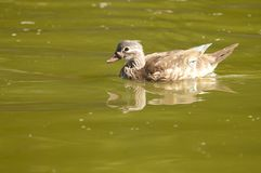 Wood Duck female Royalty Free Stock Photo