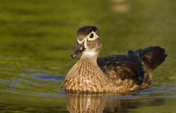 Wood Duck Royalty Free Stock Photos