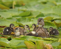 Wood Duck female with ducklings. A beautiful mother Wood Duck (Aix sponsa) with six young ducklings stock images