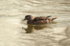 Wood duck Stock Photography