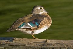 Wood Duck Royalty Free Stock Photo