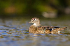 Wood duck female Royalty Free Stock Images
