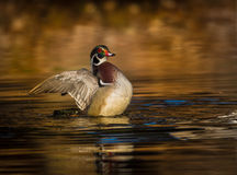 Wood duck flapping its wings Stock Photos