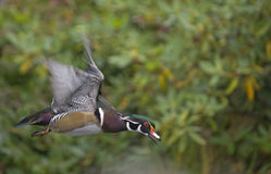 Wood duck in flight Royalty Free Stock Photos
