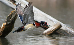 Wood duck in flight Royalty Free Stock Photography