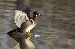 Wood duck in flight Stock Images