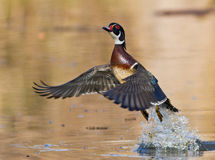 Wood duck in flight Royalty Free Stock Images