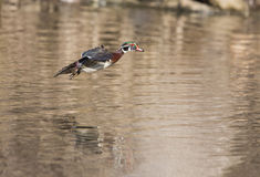 Wood duck in flight Stock Photo