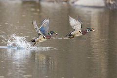 Wood duck in flight Royalty Free Stock Photo