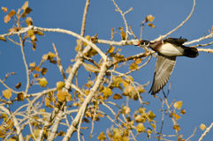 Wood Duck Flying Low Over the Trees Royalty Free Stock Images