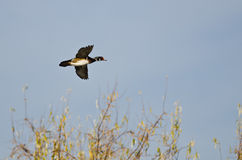 Wood Duck Flying Low Over the Wetlands. Male Wood Duck Flying Low Over the Wetlands Royalty Free Stock Images