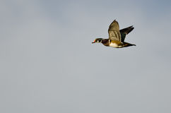 Wood Duck Flying in an Overcast Sky Stock Images