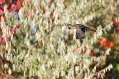 Wood Duck Flying Past Autumn Foliage arkivfoto