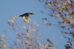 Wood Duck Flying Past Autumn Trees royaltyfri fotografi