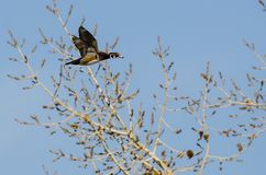 Wood Duck Flying Past Autumn Trees royaltyfria foton