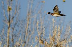Wood Duck Flying Past Autumn Trees arkivfoto