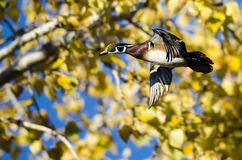 Wood Duck Flying Past the Autumn Trees. Male Wood Duck Flying Past the Autumn Trees Royalty Free Stock Photos