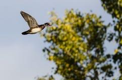 Wood Duck Flying Past en Autumn Tree royaltyfria bilder