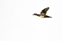 Wood Duck Flying on a White Background. Male Wood Duck Flying on a White Background Royalty Free Stock Images
