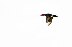 Wood Duck Flying on a White Background. Male Wood Duck Flying on a White Background Stock Images