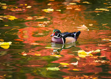 Wood Duck on Golden Pond. Colorful Texas wood duck cruising a pond lit by reflections from vivid autumn foliage Stock Photo