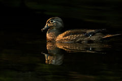 Wood Duck Hen Dark Pond Royalty Free Stock Photography