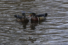 Wood Duck. Hen and drake Wood Ducks in water Royalty Free Stock Photos