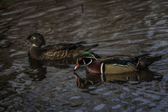 Wood Duck. Hen and drake Wood Ducks in water Stock Photography