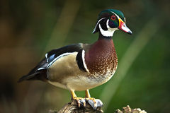Wood Duck II Royalty Free Stock Photo