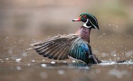 Free Wood Duck In Pennsylvania Stock Photo - 113405140