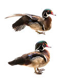 Wood duck isolated Stock Images