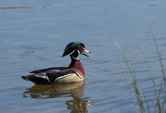 Wood duck on lake. Side view of colorful wood duck reflected on lake or river Stock Photography